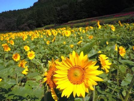 ひまわり畑8(2020-09-28