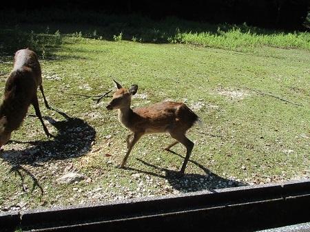 右前脚破損の小鹿10-10