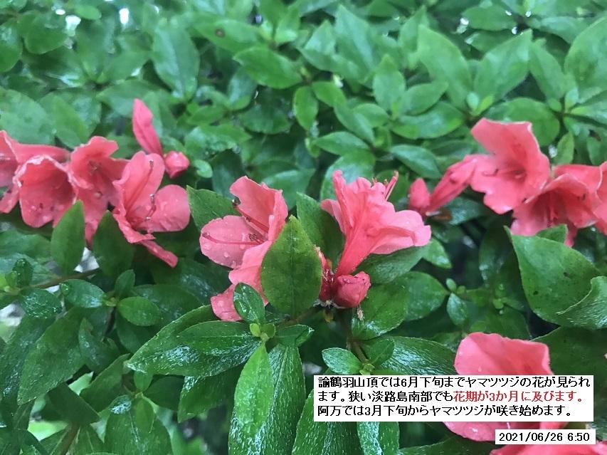 本年最終のヤマツツジの花