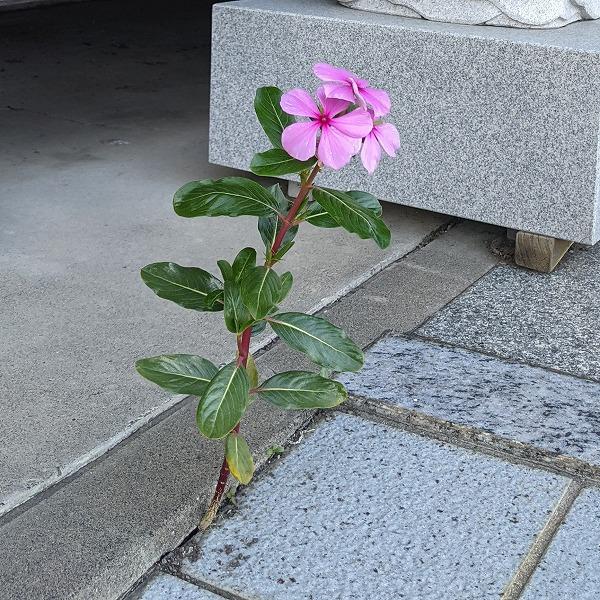 600ど根性の花2