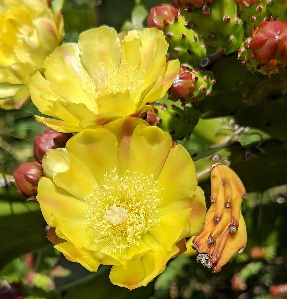 600サボテンの花2