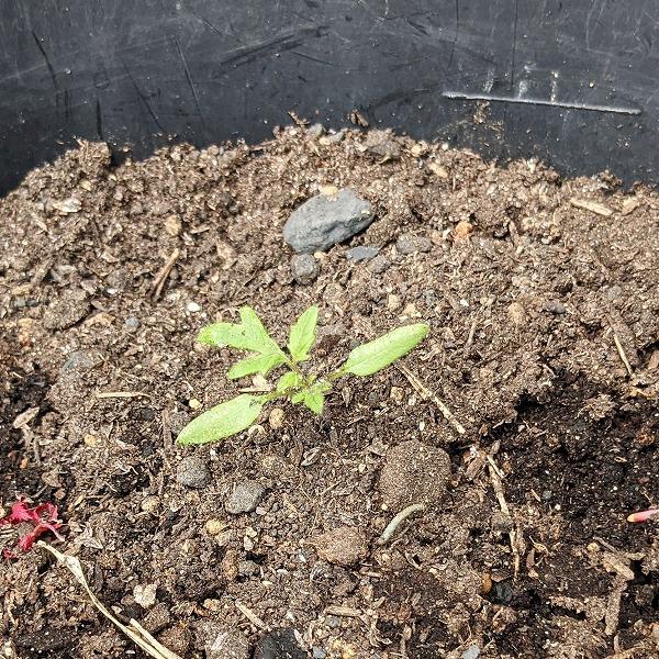 600トウモロコシとミニトマトの発芽2