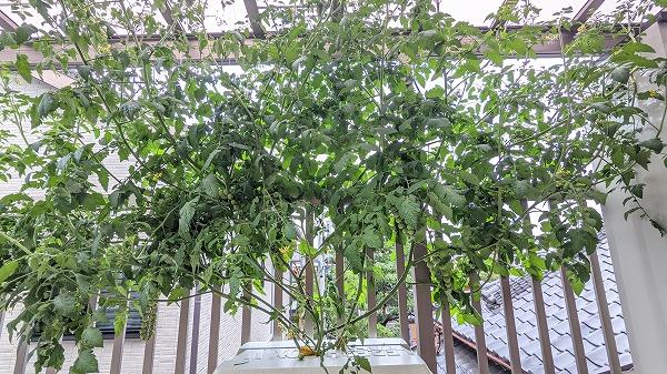 600ミニトマトの水耕栽培と坐禅1