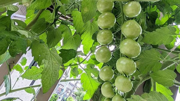 600ミニトマトの水耕栽培と坐禅3