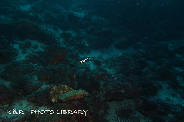 2020年12月6日8マダラタルミの幼魚