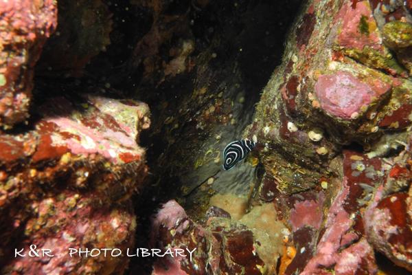 2020年12月6日10タテジマキンチャクダイの幼魚