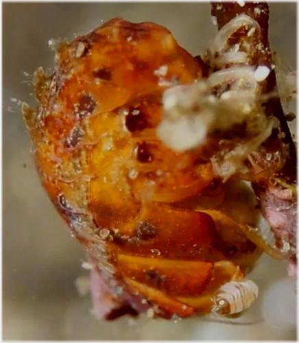 テングヨコエビ属の一種